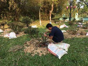 Sở ngoại vụ tỉnh Phú Thọ cung tiến cây chè cổ tại Khu Di tích Kim Liên